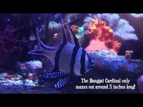 Species Spotlight Season 2 - The Banggai Cardinal - Episode 2