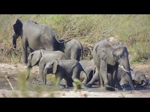 Verbot: Wild gefangene Afrikanische Elefanten dürfen n ...