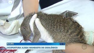 Sessões de acupuntura ajudam na reabilitação de mangusto do Zoológico de Bauru