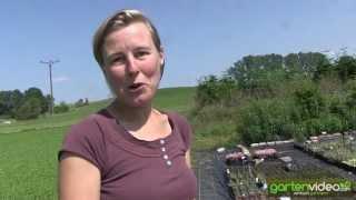 #1240 Kleine Stauden für Steingärten, Grabbepflanzungen und Minigärten