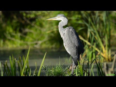 Серая цапля (Grey heron)