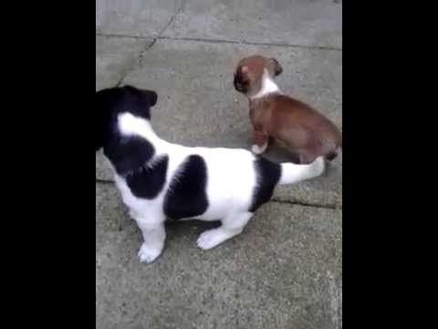 Jack Russell Cross Chihuahua Puppies for Sale, Lancashire