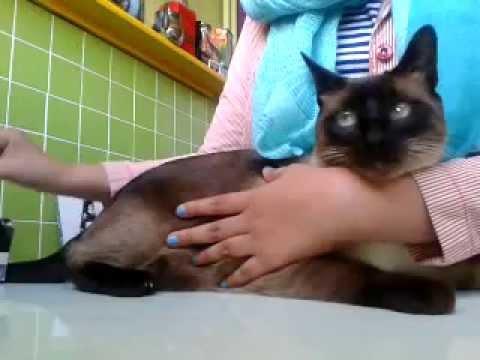 Comment mettre un harnais à un chat