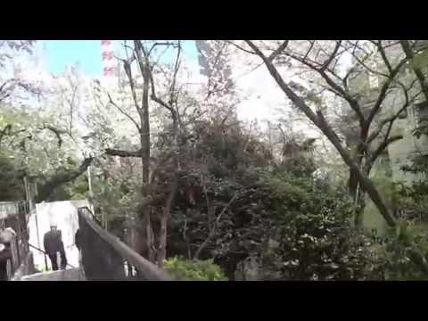 東京桜散歩 港区赤坂 赤坂保育園下の坂道 2014.4.5 Akasaka,Tokyo