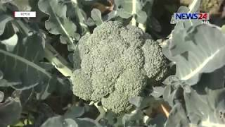 Introduction of Broccoli in Jessore