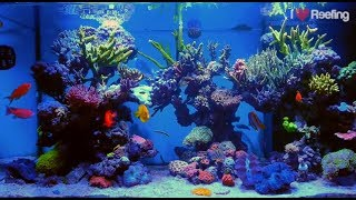 2 years Schwings Reef Tank 500l (130gal) / powered by Ecotech Radion xr30w Pro, Vortech mp40W & NYOS Video