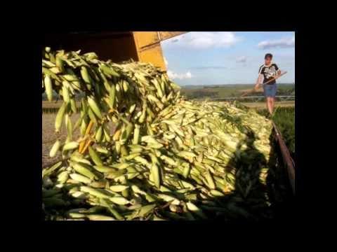 Milho doce irrigado com pivô central -  Plantio à colheita