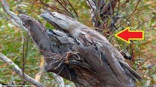 Download Video Perhatikan,Jika bertemu batang kayu seperti ini MP3 3GP MP4