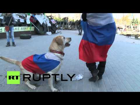 the pro - VideoID: 20140418 031 M/S Chiara, a two year old labrador W/S Chiara at the barricades at the Regional Administration building C/U Chiara chewing on a stick ...