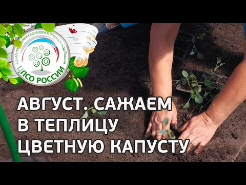Посадка рассады цветной капусты осенью. Выращивание цветной капусты в теплице осенью.
