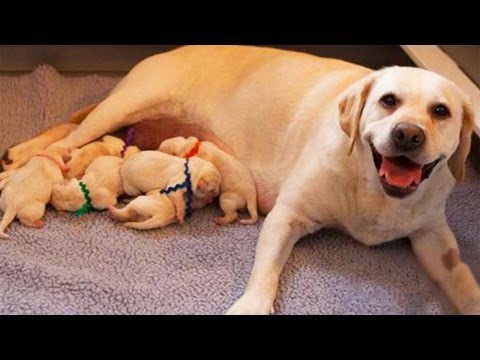 Labrador Retriever Dog Breeds Giving Birth And Nursing Puppies