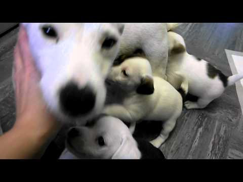 Chihuahua jack russell cross puppies well cute