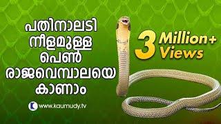 Video Vava Suresh Captures A large King Cobra | SNAKE MASTER MP3, 3GP, MP4, WEBM, AVI, FLV Desember 2018