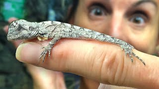 HATCHING MORE BABY FRILLED DRAGONS!! GIANT ALLIGATOR WRANGLING!!   BRIAN BARCZYK by Brian Barczyk