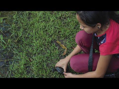 Liberación de más de 1100 tortugas charapas en Vichada