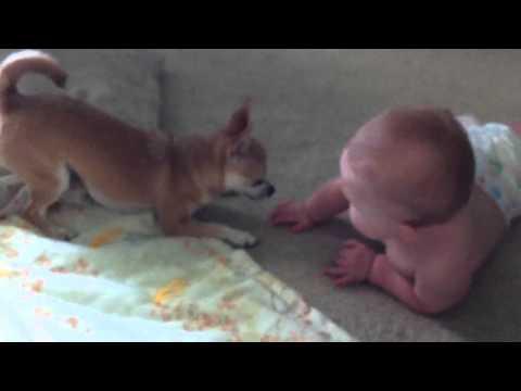 Chihuahua vs Baby