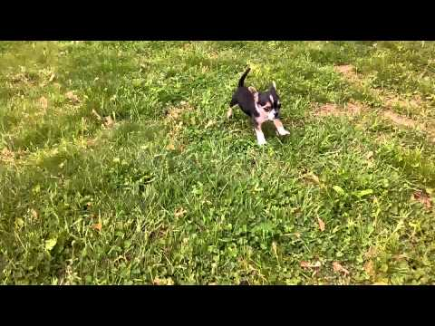 Chihuahua/Jack Russell mix running in the yard.