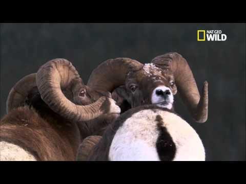 Trophée de chasse Mouflon naturalisé Taxidemie gibier montagne no cerf
