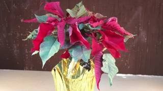 The weather got extremely cold (-16 F). A video was created to see what would happen to a Christmas poinsettia in the extreme cold weather. The plant's leaves are very thin and started to freeze almost instantaneously.