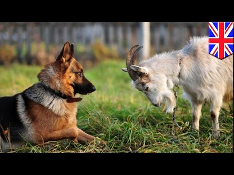 Científicos descubren que las cabras son tan inteligentes como los perros y gatos
