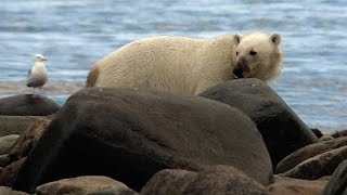 Polar Bear Carcass-Eating Etiquette - YouTube