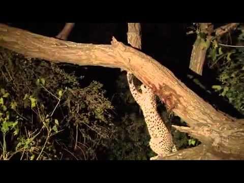 Leopardo adopta cría de babuino