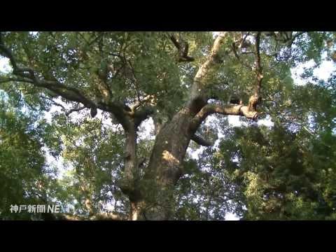 大樹に宿る夫婦神 伊弉諾神宮