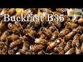 Пчелы Бакфаст В35