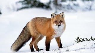 Video Vábení a lov lišek [Fox hunting] MP3, 3GP, MP4, WEBM, AVI, FLV Agustus 2017