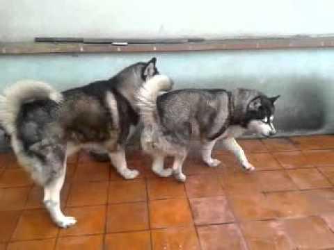 Video perro celoso download in MP3, 3GP, MP4, WEBM, AVI, FLV January 2017