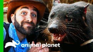 A Ferocious Tasmanian Devil Feeding Frenzy!   Coyote Peterson: Brave The Wild by Animal Planet