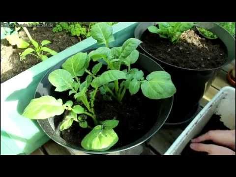 Kartoffeln auf dem Balkon anbauen