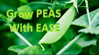 How to Grow Organic Peas - Complete Growing Guide