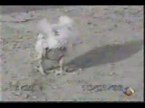 Pollo con cuatro patas
