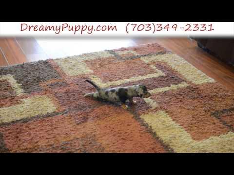 Very Cute Female Toy Dachshund Puppy 1