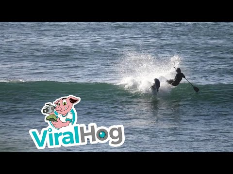 Paddle Boarder Gets SMASHED By Dolphin || ViralHog
