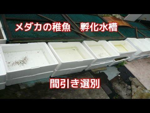 7月メダカの稚魚間引き選別 たくさん生まれています紅白メダカミユキメダカブラック3色光