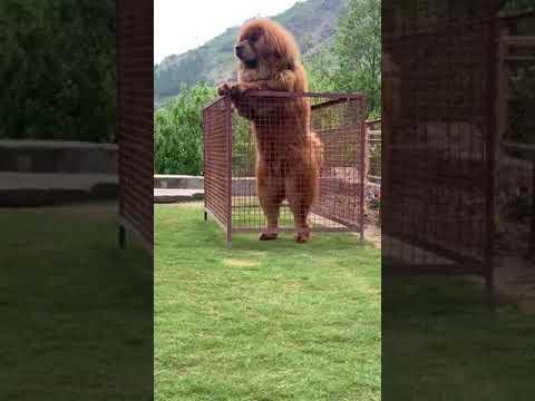 Niesamowite. Ogromny Tibetanski mastif