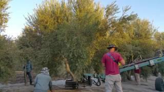 חביקת גזע העץ על ידי המנערת וניעורו-כרם זיתים עץ השדה גבעת עדה-מסיק 2016