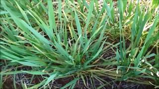 Capa do vídeo Alerta para ocorrência de oídio nas lavouras de trigo