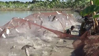 Video Big Fish Hunting By Net From Bugdhani Pond Of Dalas MP3, 3GP, MP4, WEBM, AVI, FLV Agustus 2018