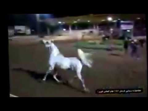 Arabian Horse - Video - Horse Show - Running - Horse galopping