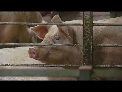 300.000 Ferkel im Jahr: Peking investiert in riesige Schweinefarmen