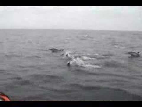 Delfines a proa