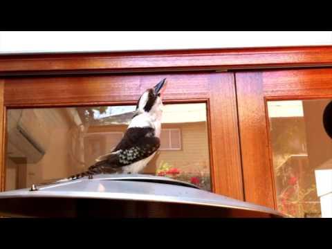 Kookaburra screams