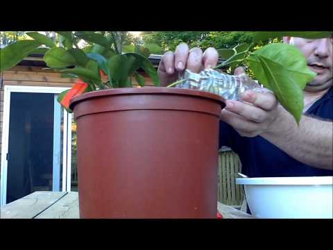 How to propagate citrus by air layering