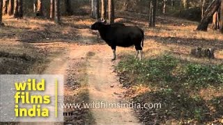 Bandipur India  City new picture : Indian bison in Bandipur National Park