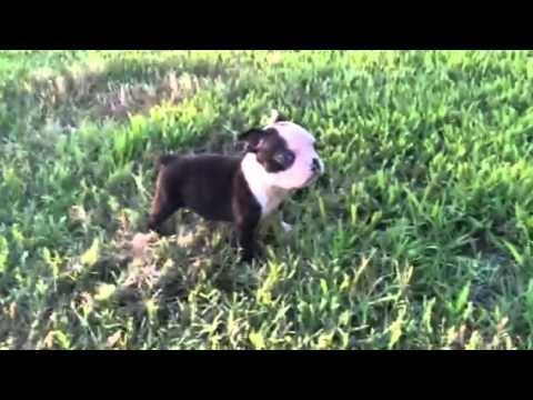 SQUIRT BOSTON TERRIER