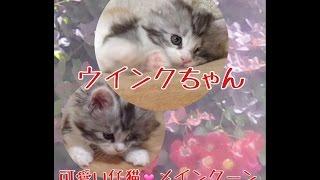2016年5月12日生まれ可愛い仔猫のウィンクちゃん 女の子ですひと月経ちました今日の体重 752グラム純血のメインクーンですcattery yakumoやくもnyanhttp://yakumonyan.com/島根県松江市で猫カフェとメインクーンのキャッテリーをしています