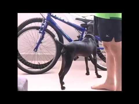 Video Depois de muito treino, cachorro vira-lata pode se tornar cão de corrida no Recife (PE) download in MP3, 3GP, MP4, WEBM, AVI, FLV January 2017